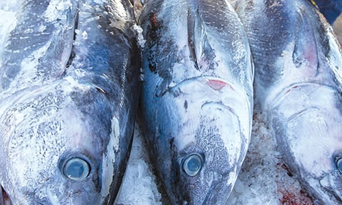 Mackerel Tuna