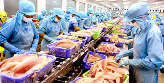 Seven Oceans Fish Processing limited is one of the largest fish processing companies in Bangladesh. Since the year 2011, the company has operated robustly with its qualified fish processors sourced around the country. With the hand of some expert technicians and comprehensive export oriented policy, Seven Oceans Fish Processing Limited has marked its signature by exporting its processed fish to Asian Continent including China, Vietnam, Thailand, Singapore, Hong Kong, Sri Lanka, Myanmar etc. Currently the company is processing various kinds of Fish Fillets including Pangasius Fillet, Salmon Fillets, Sea Bass Fillets, Tilapia Fillets, Basa Fillets.