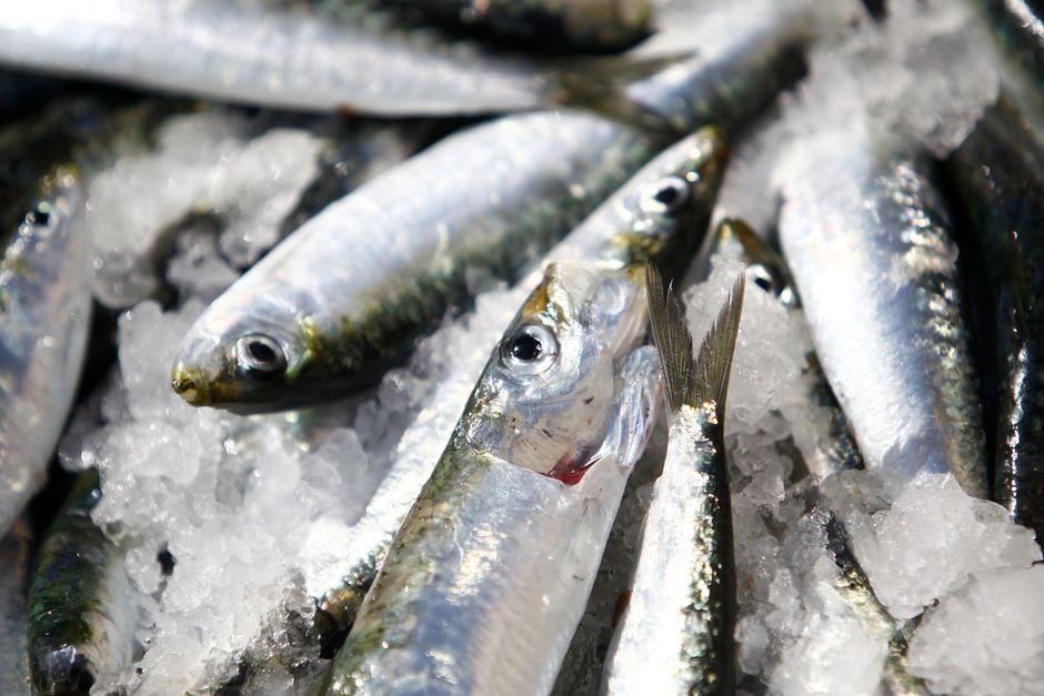 european sardine